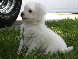 bichon frise meme puppy bichon frise near the car wallpapers and images wallpapers