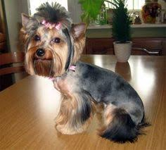 yorkie hairstyles yorkie haircut exles pet taxi look funny yorkies pinterest pet taxi and yorkies
