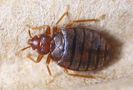 What Do Bed Bugs Eat Pictures Of Parasites Lice Bedbugs Ringworms Pinworms Scabies