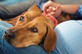 dog euthanasia in home euthanasia golden years pet hospice