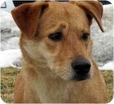 afghan hound and labrador retriever sophie adopted dog overland park ks labrador retriever