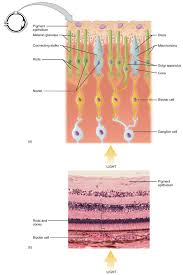 What Structure Of The Eye Focuses Light On The Retina Sensory Perception