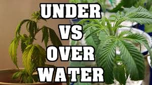 Plants That Do Not Need Much Sunlight by Over Watering And Under Watering Cannabis Youtube