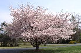 yoshino cherry trees blooming in diana digs dirt