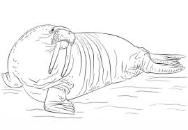 coloring page for walrus walrus coloring page free printable coloring pages
