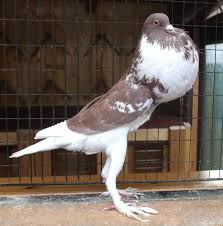 fancy pigeon alchetron the free social encyclopedia