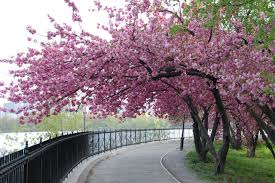 cherry blossom tree central park heaven on earth