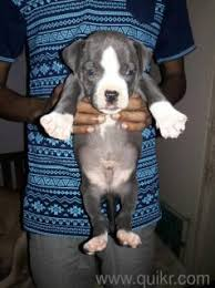 boxer dog quikr 9212501257 small beagle for sale in rahul pet shop