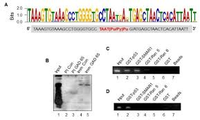 Dna Meme - isolation of dna fragments bound by smar1 a meme software based