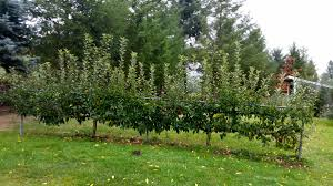 should i prune these apple trees ask an expert