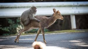 Sexy Monkey Meme - sex between snow monkey and deer shows different species may mate if