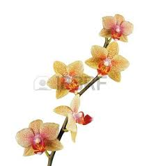 Yellow Orchid Beautiful Orchid Isolated On White Background Stock Photo Picture