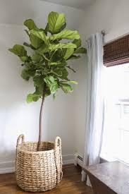 Fiddle Leaf Fig Tree Care by Fiddle Leaf Fig In Basket Greenery Pinterest Fiddle Leaf Fig