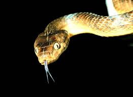 brown tree brown tree snake simple the free encyclopedia