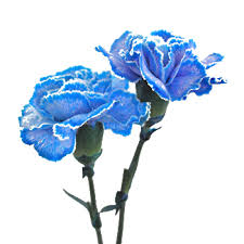blue carnations blue tinted carnation flowers farm fresh exports