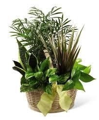 flowerwyz cheap funeral plants plants for funerals popular