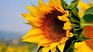sunflower wallpapers blossomed sunflower wallpaper flower wallpapers 52812