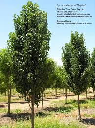 pyrus calleryana capital ellenby tree farm