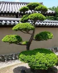 Topiary Cloud Trees - pine tree japanese garden style pinterest pine tree pine