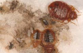 how can you get rid of bed bugs what you will see in bed bugs pictures dead bed bug blog