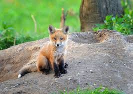 Indiana wild animals images Kit fox in the wild indiana baby animals pinterest foxes jpg