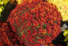 Picture Of Mums The Flowers - trick to get mums to come back every year plant them now