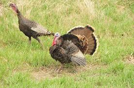 thanksgiving turkey trivia wild facts about wild turkeys