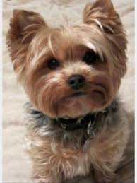 hair accessories for yorkie poos this puppy looks so cute and adorable cute animals pinterest