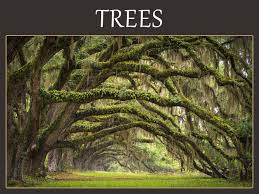 tree symbolism meanings dogwood oak sequoia cherry poplar