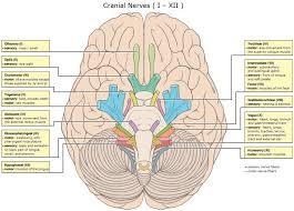 Brain Stem Anatomy The Cranial Nerves And Brainstem