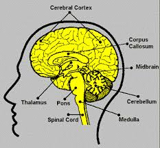 Thalamus Part Of The Brain Neuroscience For Kids Explore The Nervous System