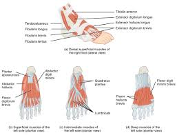 Diagram Of Knee Anatomy Appendicular Muscles Of The Pelvic Girdle And Lower Limbs