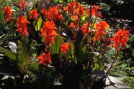 Canna Lilies Canna Rhs Gardening