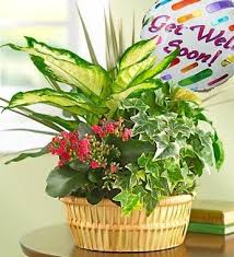 Get Flowers Delivered Today - get well soon tabletop plant garden w mylar indoor plant gifts