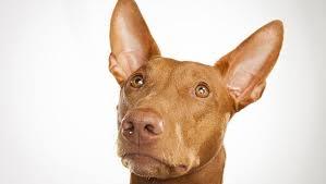 afghan hound dogs 101 pharaoh hound dog breed selector animal planet