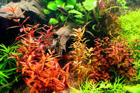 Aquarium Tropical Plants Ammania Senegalensis Fresh Water Aquatic Plants And Aquariums