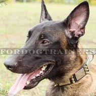 belgian sheepdog puppies for sale uk belgian shepherd malinois