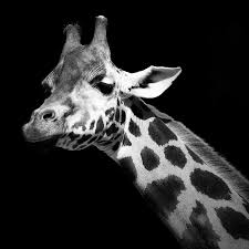portrait of giraffe in black and white photograph by lukas holas