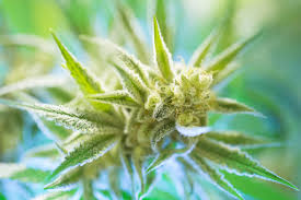 Weed Maps San Diego by Weedrecs Com Cannabis Cards For The Guaranteed Lowest Price In