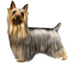 silky terrier hair cut pet grooming products tips wahlpets com care for my dog