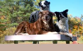 australian shepherd new hampshire details u0026 fees u2013 dee ganley dog training services