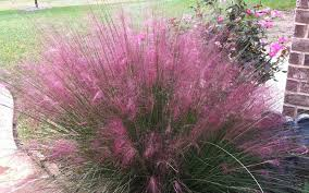 buy pink muhly grass for sale from wilson bros gardens