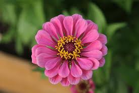 Zinnia Flower Free Photo Zinnia Flower Blossom Bloom Free Image On Pixabay