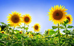 foto wallpaper bunga matahari sunflower pictures 6812506