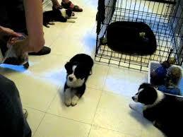 australian shepherd 9 weeks old weight bailey the 8 week old mini aussie puppy does 7 tricks www