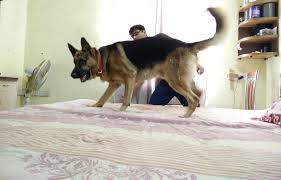 youtube lexus german shepherd he was sad playtime was over and he had to go inside aww