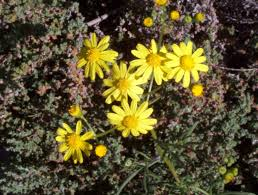 queensland native plants senecio lautus pinnatifolius variable groundsel mallee native