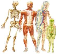 Anatomy And Physiology Midterm Exam Old Saybrook Public Schools Anatomy And Physiology
