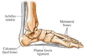 Anatomy Of The Calcaneus The Calcaneus Also Constitutes The Region Known As The Heel This