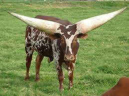 the ankole watsui cow has the biggest horns you u0027ll ever see
